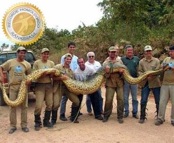 Sucuri é a maior cobra do Brasil