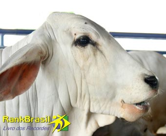 Vaca mais cara do Brasil