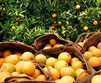 Maior safra de laranja da história do Brasil