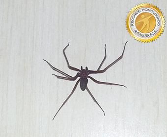 Menor aranha peçonhenta do Brasil