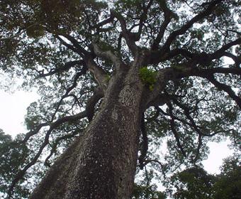 Mais antiga árvore