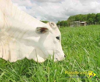 Maior exportador de carne bovina