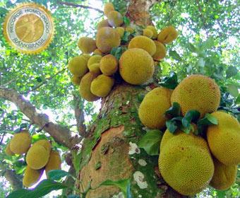 Maior fruto produzido por uma árvore