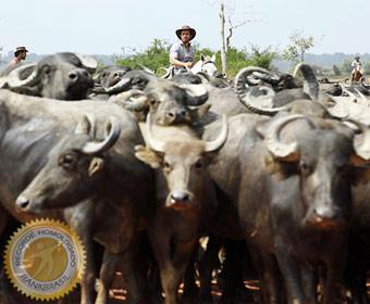 Estado com maior rebanho de búfalos do país