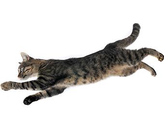 CURIOSIDADE - Gatos sempre caem de pé devido ao senso de equilíbrio