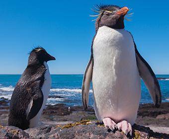 CURIOSIDADE – Pinguim resiste ao frio por sua camada extra de gordura