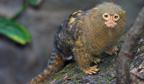 Menor primata do Brasil