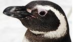 Primeiro pinguim nascido em cativeiro no Brasil