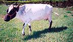 Menor vaca leiteira