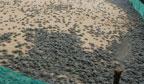 Maior soltura de filhotes de tartarugas à natureza