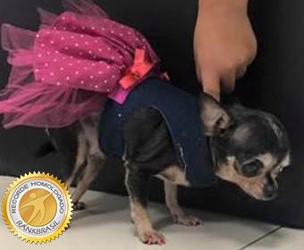 Menor cão do Brasil