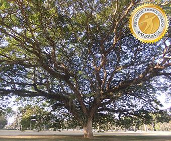 Maior árvore Samanea saman