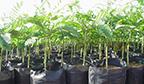 Maior plantio de árvores da espécie Paricá