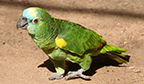 CURIOSIDADE – Papagaios não falam, apenas imitam sons